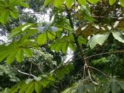 Cecropia obtusifolia Leaf