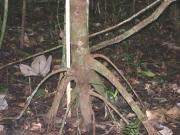 Pourouma bicolor Root