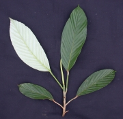 Pourouma minor Leaf