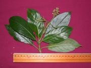 Hedyosmum bonplandianum Fruit Leaf