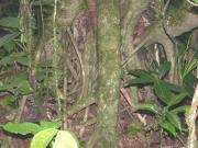 Hedyosmum bonplandianum Root
