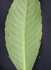 Hedyosmum costaricense Leaf