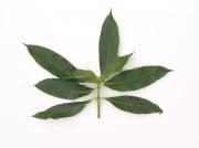 Hedyosmum mexicanum Leaf