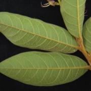Hirtella americana Leaf