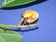Hirtella guatemalensis Fruit