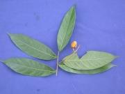 Hirtella guatemalensis Fruit Leaf