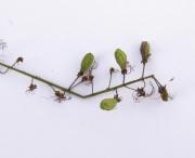 Hirtella racemosa Fruit