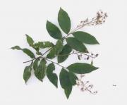 Hirtella racemosa Fruit Leaf