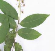 Hirtella racemosa Leaf