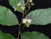 Hirtella triandra Flower