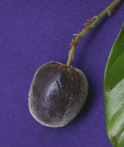 Hirtella triandra Fruit