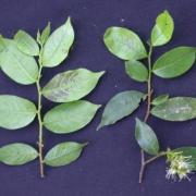Hirtella tubiflora Flower Leaf