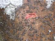 Licania affinis Bark