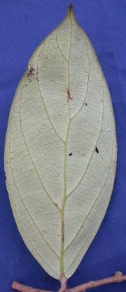 Licania affinis Leaf