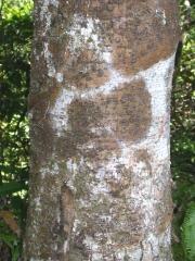 Licania affinis Trunk