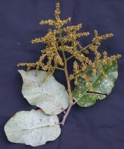 Licania arborea Flower Leaf
