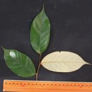 Licania cruegeriana Leaf
