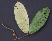 Licania  fasciculata