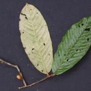 Licania fasciculata Flower Leaf