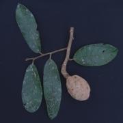 Licania fasciculata Fruit Leaf