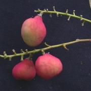 Licania hypoleuca Fruit