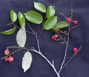Licania hypoleuca Fruit Leaf