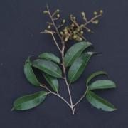 Licania kallunkii Fruit Leaf