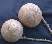 Licania longistyla Fruit