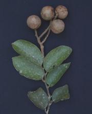 Licania longistyla Fruit Leaf