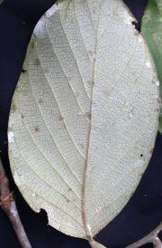 Licania longistyla Leaf