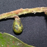 Licania morii Fruit