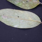 Licania morii Leaf