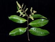 Licania platypus Flower Leaf