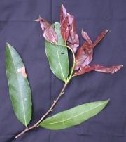 Licania platypus Leaf