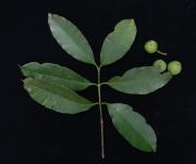Calophyllum brasiliense Fruit Leaf