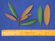 Calophyllum brasiliense Leaf