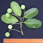 Calophyllum inophyllum Fruit Leaf