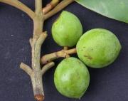 Calophyllum longifolium Fruit