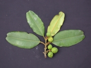 Calophyllum longifolium Fruit Leaf
