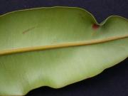 Calophyllum longifolium Leaf