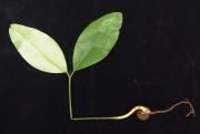 Calophyllum longifolium