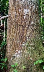 Calophyllum longifolium Trunk