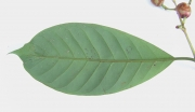 Chrysochlamys eclipes Leaf