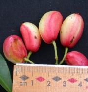 Chrysochlamys glauca Fruit