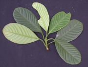 Chrysochlamys grandifolia Leaf