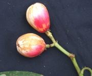 Chrysochlamys nicaraguensis Fruit