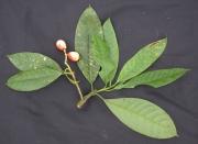 Chrysochlamys nicaraguensis Fruit Leaf