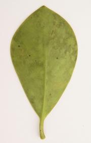 Clusia pratensis Leaf