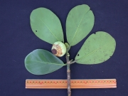 Clusia rosea Fruit Leaf