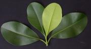Clusia rosea Leaf